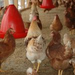 adopter poules