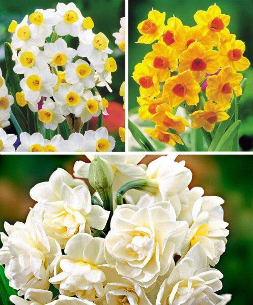 Narcisse d'été en 3 variétés