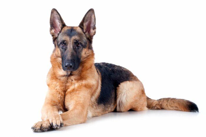 dressage d'un chien